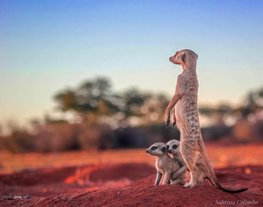 monitoring meerkats