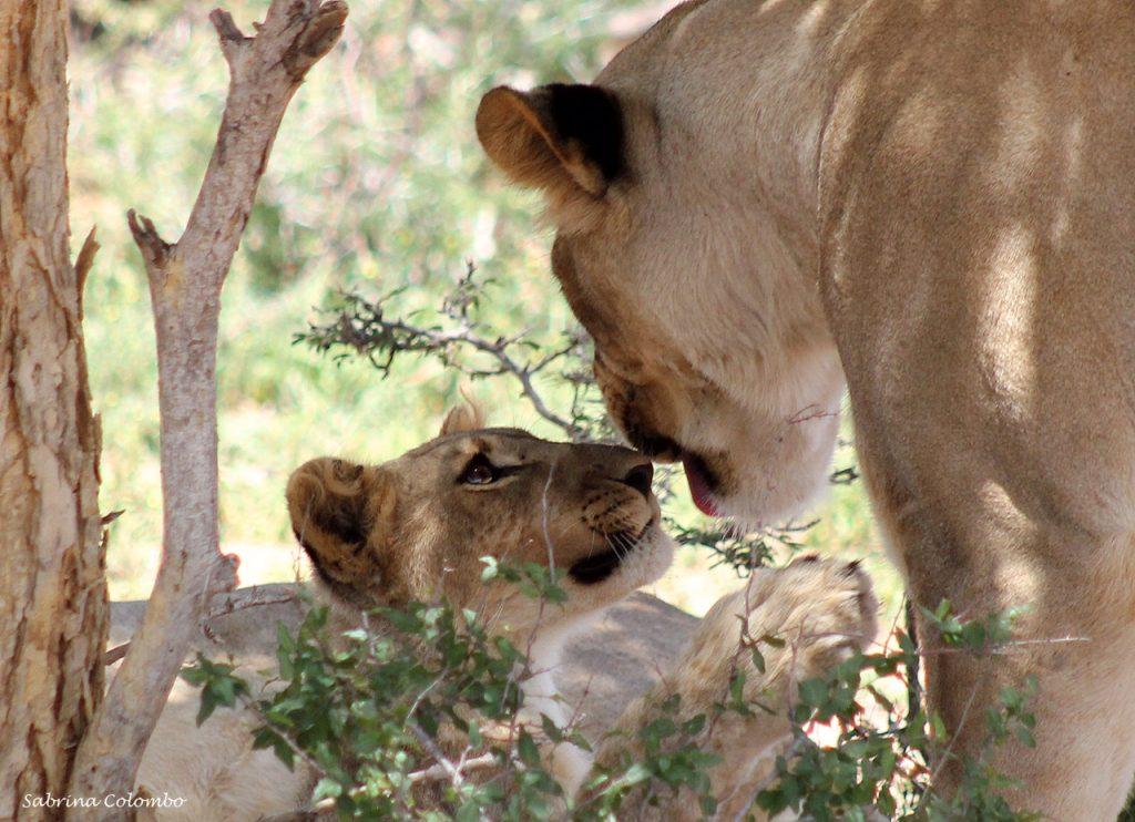 Lions conservation